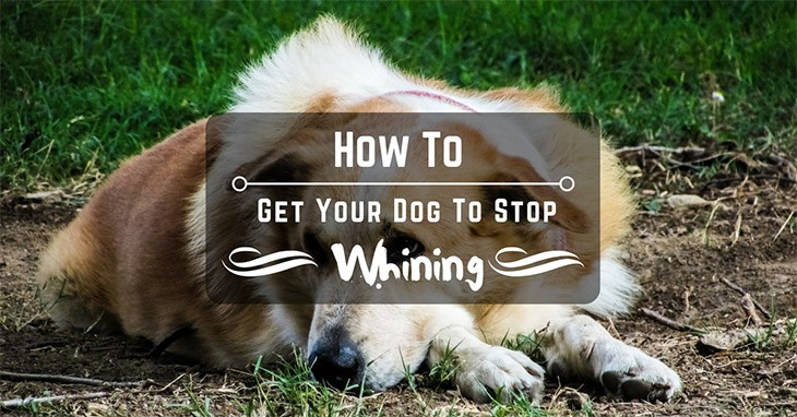 how to get your dog to stop whining