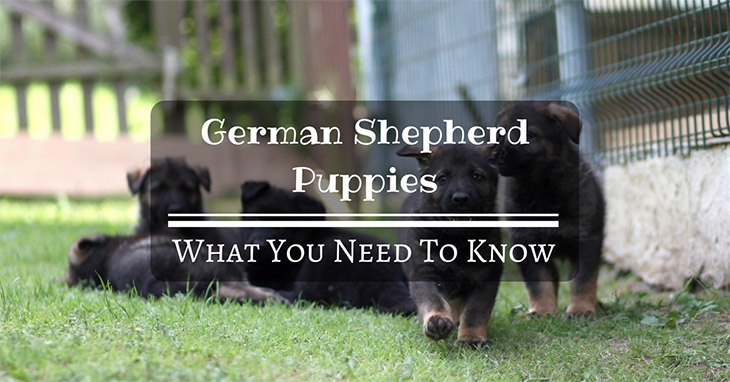 what you need to know about german shepherd puppies