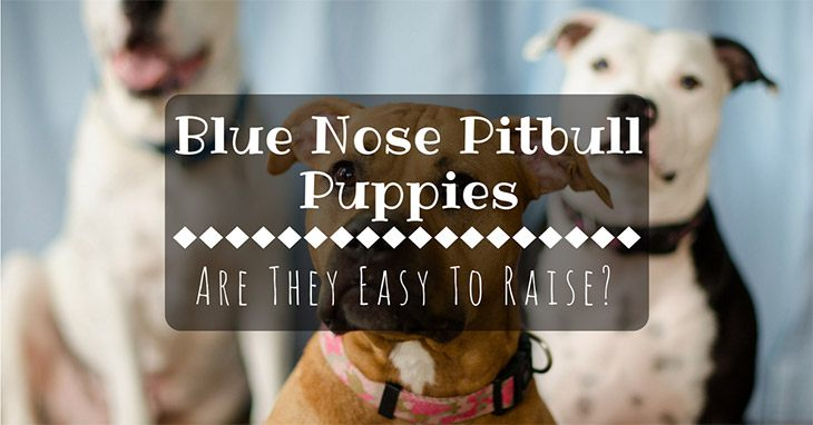 are blue nose pitbull puppies easy to raise?