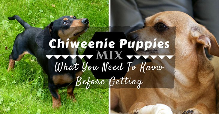 all things about Chiweenie puppies