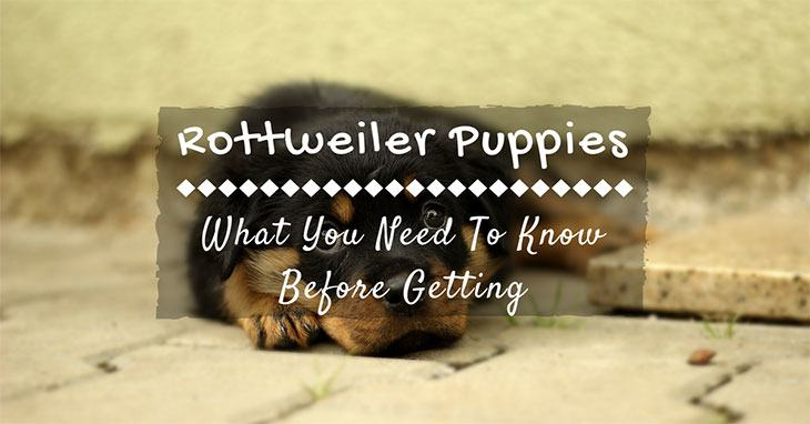 what do you need to know before getting Rottweiler puppies