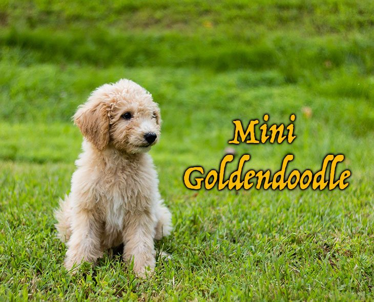 will the mini goldendoodle fit your home?