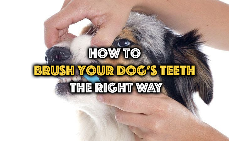 the right way to brush your dog's teeth