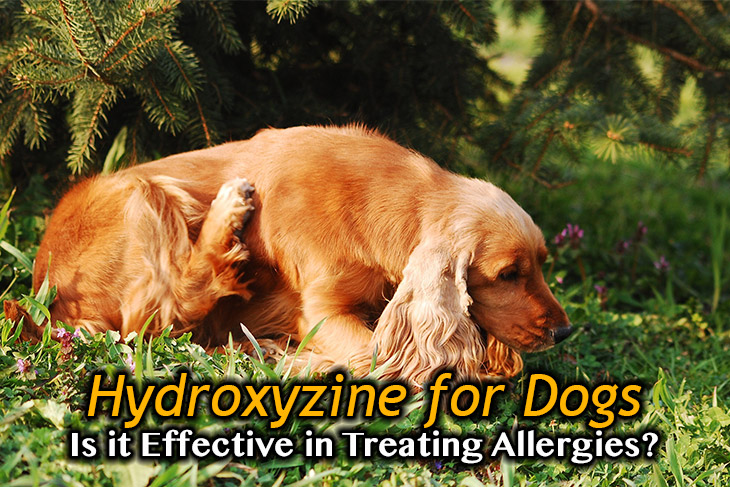 Is Hydroxyzine Effective in Treating Canine Allergies