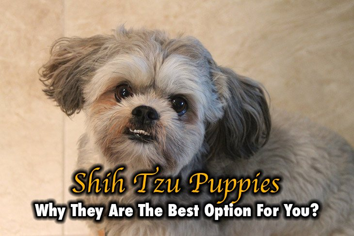 Why Shih Tzu Puppies Are The Best Option For You?