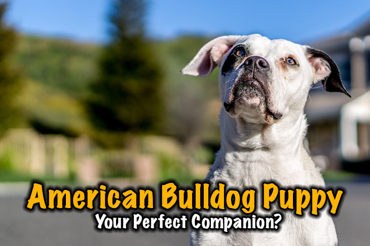 Is The American Bulldog Puppy Your Perfect Companion