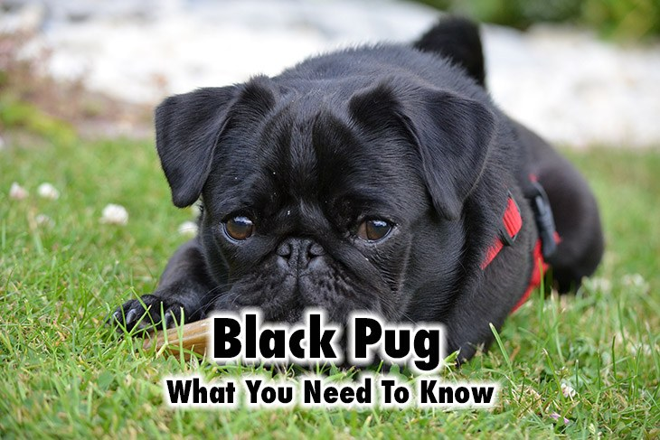 Introducing the Black Pug