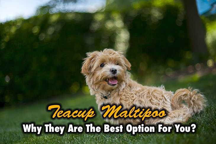 why are teacup maltipoos the best option for you?