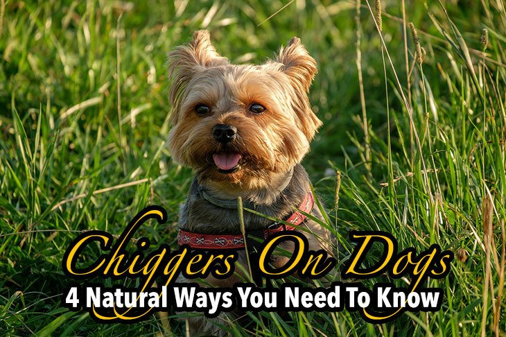 how to treat chiggers on dogs