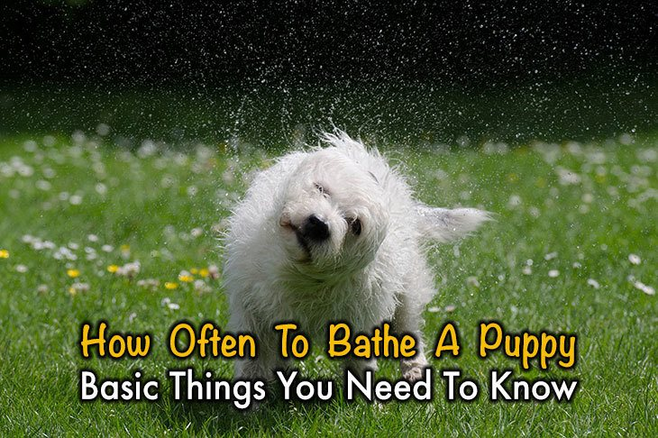 Basic Things You Need To Know About How Often To Bathe A Puppy