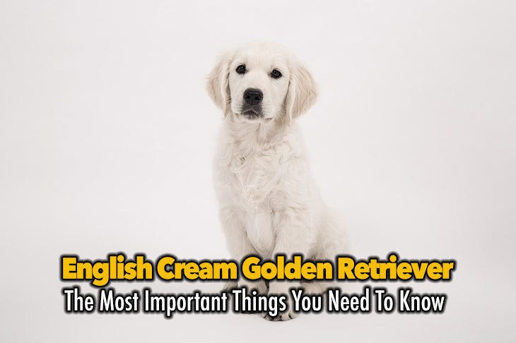 All You Need To Know About The English Cream Golden Retriever