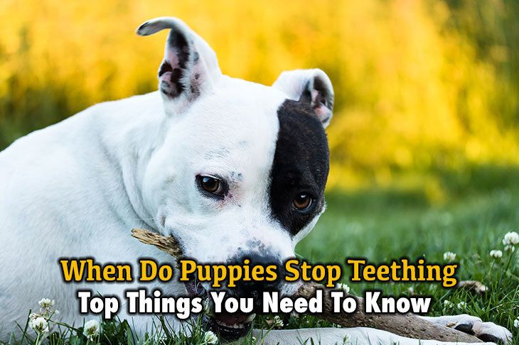 top things you need to know about when do puppies stop teething