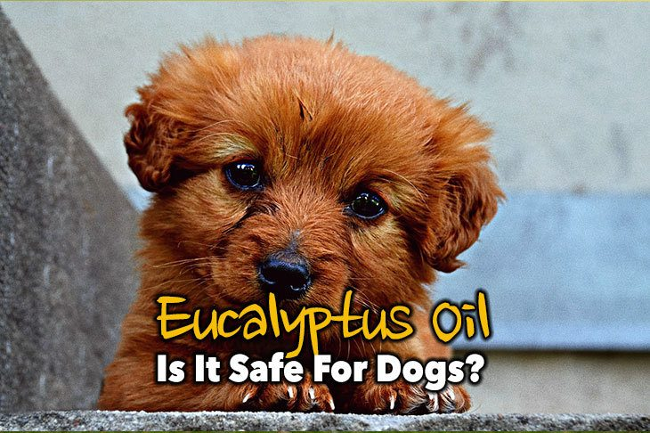 Eucalyptus Oil and Puppy