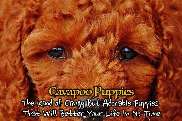 cavapoo puppies what you need to know