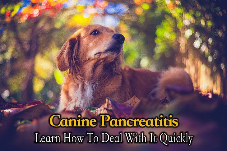 canine pancreatitis