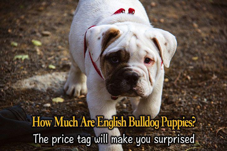 English Bulldog puppies price